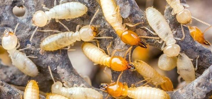 What Do Termites Look Like: Baby Termites