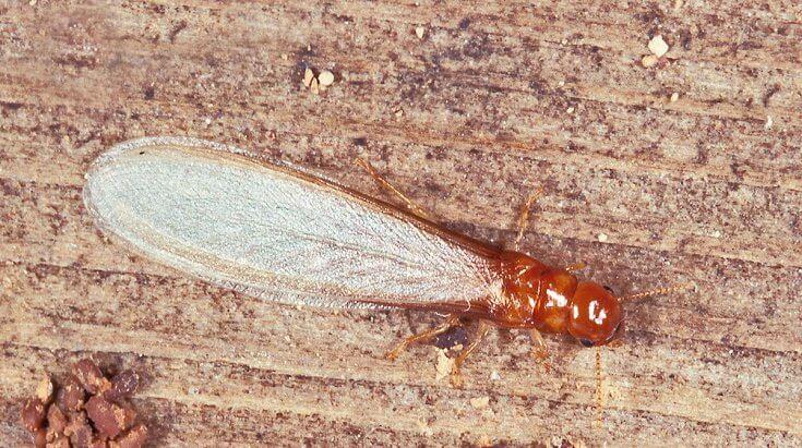 What Do Termites Look Like: Drywood Termites