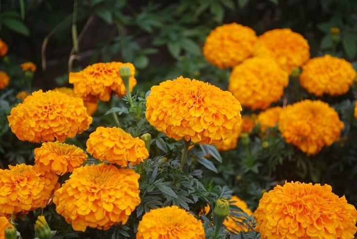 Top 10 Natural Mosquito Repellents: Marigolds