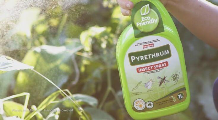 How to Kill Flies: Organic Pyrethrum Spray