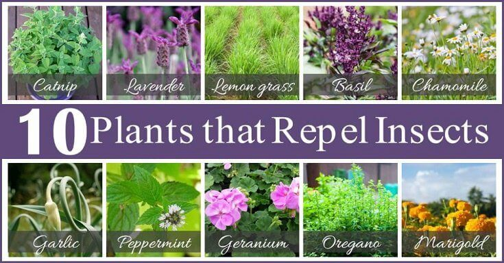 How to Keep Bugs Away: Using Plants that Repel Bugs
