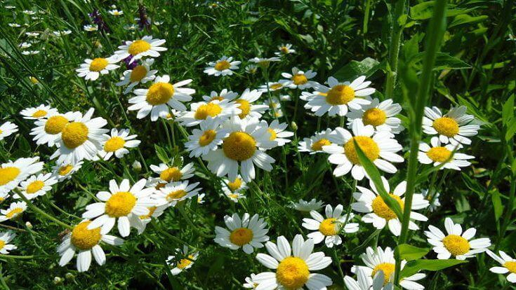 How to Get Rid of Roaches: Pyrethrum Flower