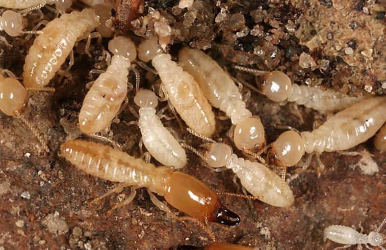 What Do Termites Look Like: Subterranean Termites