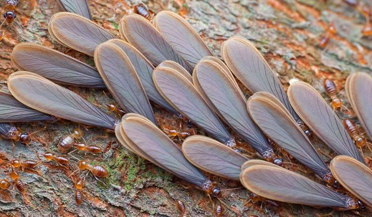 What Do Termites Look Like When They Swarm