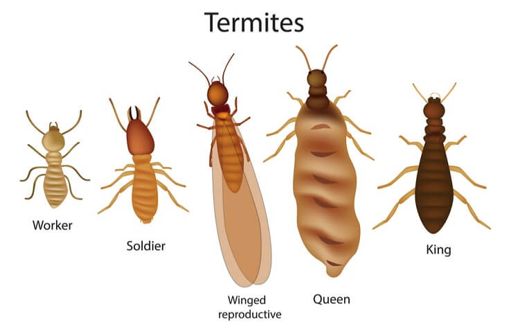 What Do Termites Look Like: Types of Termites