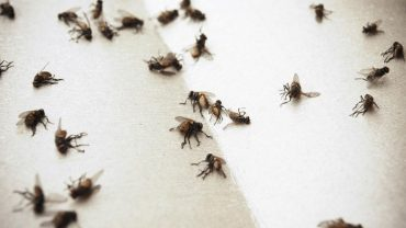 How to Kill Flies Effectively and Fast