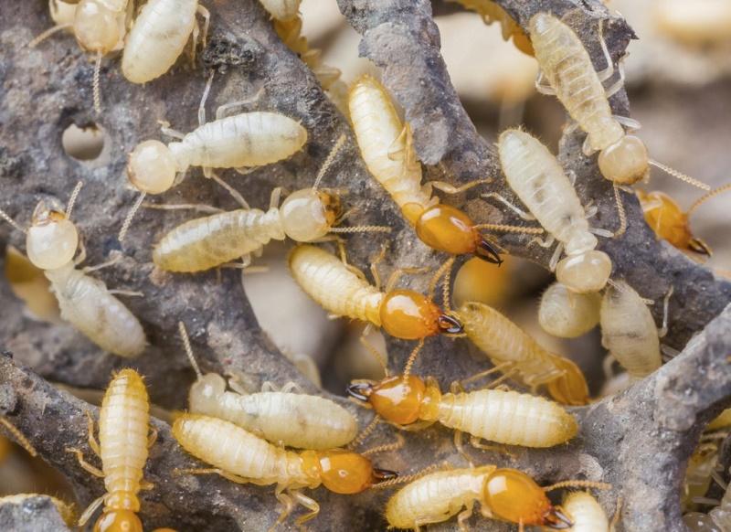 How to Kill Termites Naturally